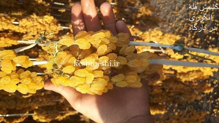 فروش کشمش طلایی